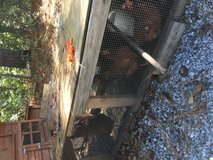 Read laying chickens are in Beaufort, South Carolina