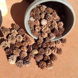 Pine cones natural (and local) for your art projects in Yucca Valley, California
