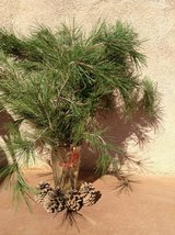 Christmas tree in a vase-fresh cut pine tree brunches in Yucca Valley, California