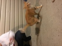 Orange male cat found in Fort Campbell, Kentucky