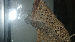 Bearded dragon and tank with xtra in Fort Campbell, Kentucky