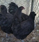 Ameraucana Laying Hens/Chickens-Rare colors & Lays Blue Eggs in Yucca Valley, California