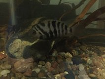 Convict Cichlids in Camp Pendleton, California