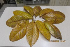 Giant Magnolia Leaves - Perfect For A Thanksgiving Wreath in Kingwood, Texas