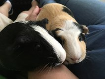 Guinea Pigs in Fort Bragg, North Carolina