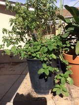 Herbs, mint and lemon plant.. in Camp Pendleton, California