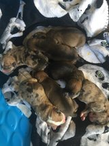 puppies in Cherry Point, North Carolina