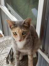 free Spayed Adult Female cat in Conroe, Texas