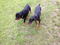 Pure Bred Female Rottweiler in Kingwood, Texas