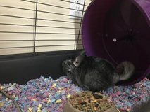 Just in time!!  Chinchilla, cage, food, and all accessories that you need for that perfect Chris... in Camp Lejeune, North Carolina