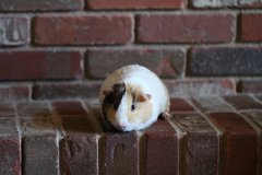 Male Guinea Pig (6mo old) in Fort Carson, Colorado