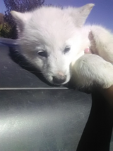 1 woolly husky pup in Camp Pendleton, California