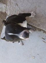 Pitbull in Fort Irwin, California