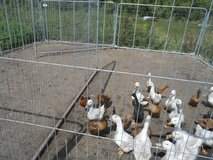 Ducks for sale, in Lakenheath, UK