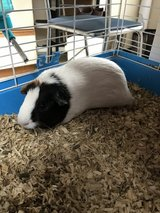 Guinea pig in Fort Knox, Kentucky