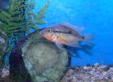 Tropical Fish -- 2 Firemouth cichlids in Schaumburg, Illinois