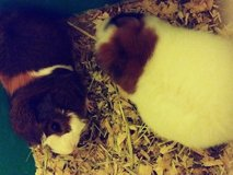 Guinea pigs and all supplies in Elgin, Illinois