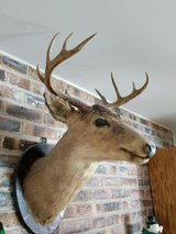 Deer Head in St. Charles, Illinois