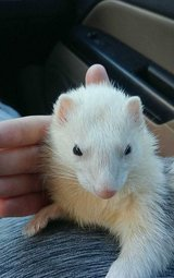 Female ferret and supplies in Beaufort, South Carolina
