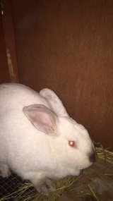 male bunny needs new home ASAP in Oswego, Illinois