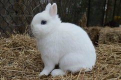 ISO NEATHERLAND  DWARF BUNNIES in Lawton, Oklahoma