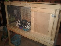 3 Mini Rex Rabbits & Hutch in Fort Knox, Kentucky