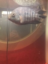 African cichlid and 20 gallon tank in Kingwood, Texas