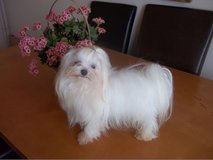 Two Top Class Maltese Puppies Available in Chicago, Illinois