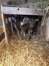 2 female Nigerian Pygmy goats in St. Charles, Illinois