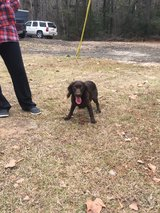 Boykin Spaniel in Leesville, Louisiana