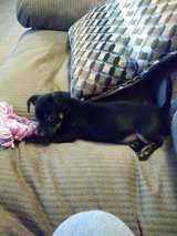 Dachsund puppy in Leesville, Louisiana