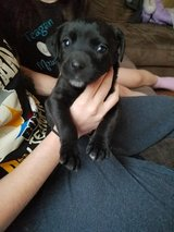 Black female puppy in Leesville, Louisiana