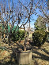 Apricot Tree in container (producing) in Alamogordo, New Mexico
