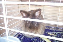 LION HEAD  DRAWF BUNNY in Alamogordo, New Mexico