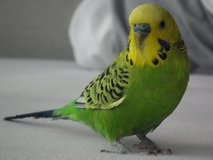 **TWO PARAKEETS** in Alamogordo, New Mexico