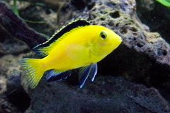 African Cichlid in Bolingbrook, Illinois