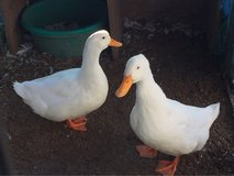 two male ducks need a new home asap in Chicago, Illinois