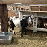 Nigerian Dwarf Shirley and Her Doeling in Yucca Valley, California