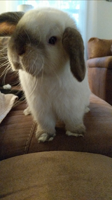 9 Month Old Holland Lop Bunny in Warner Robins, Georgia