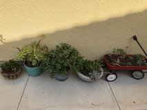 Succulents plants potted garden in Camp Pendleton, California