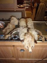 Coyote Pelt With Tail in Fort Riley, Kansas