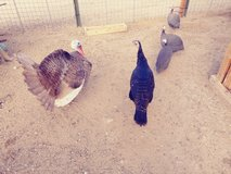 Pair of turkeys in Yucca Valley, California