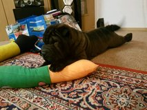 Chinese Shar Pei puppy in Ramstein, Germany