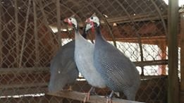 Guinea Fowl - Adult Males Only in Fort Gordon, Georgia