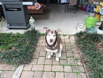 Found Beautiful Male Siberian Husky/ Alaskan Malamute, has collar, very friendly in Fort Polk, Louisiana