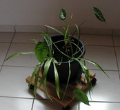 Spider and Philodendron plants in Ramstein, Germany