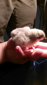 Baby lavender orpington chicks in Lawton, Oklahoma