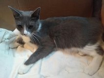 Gray/White Indoor/Outdoor Cat Female About 1 Yr Old in Fort Bragg, North Carolina