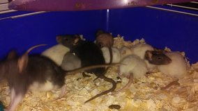 baby fancy and albino rats in Pasadena, Texas