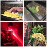 Crested gecko in Bolingbrook, Illinois